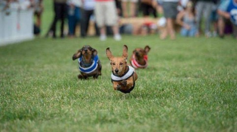 2016 Wiener Dog Races